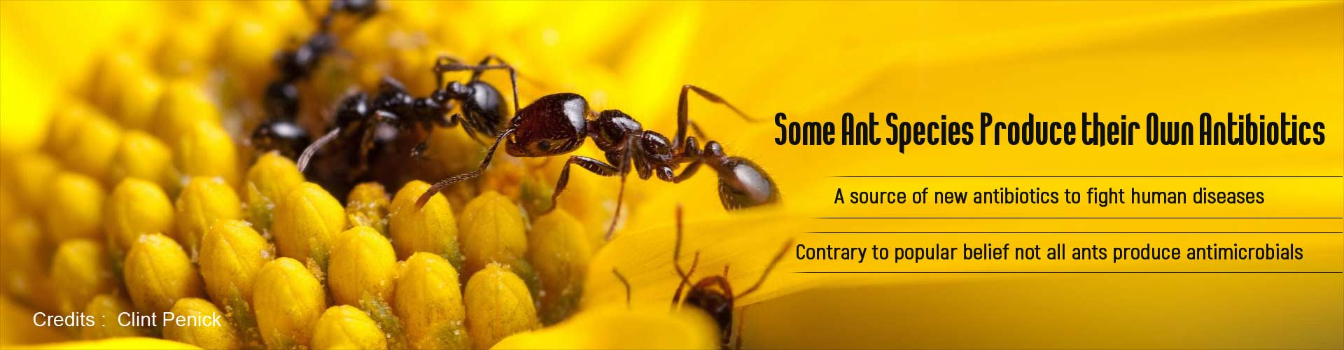 Some ants species produce their own antibiotics