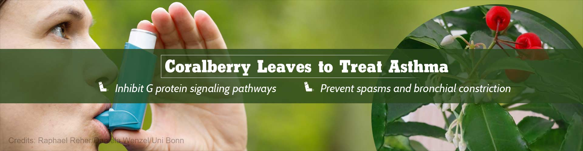 Active Ingredient from Coralberry Leaves to Fight Asthma