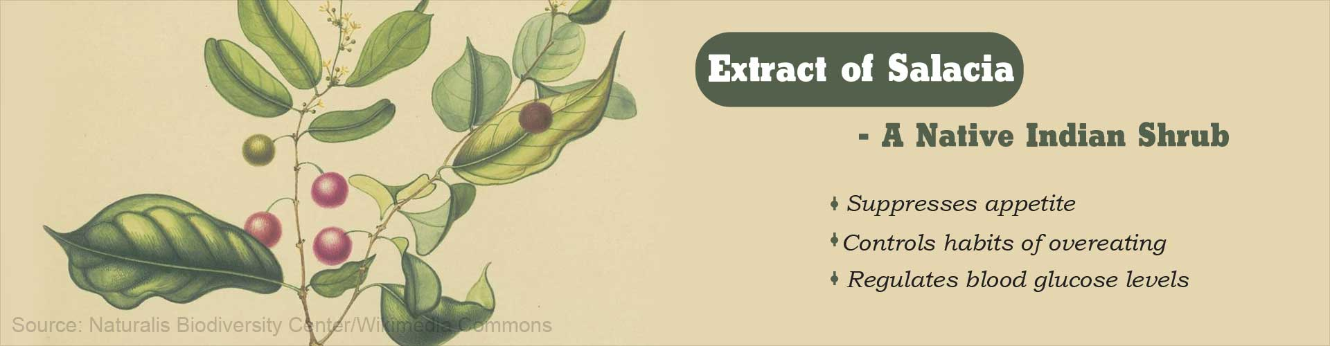 Extract of Salacia - A Native Indian Shrub - Suppresses appetite - Controls habits of overeating - Regulated blood glucose levels