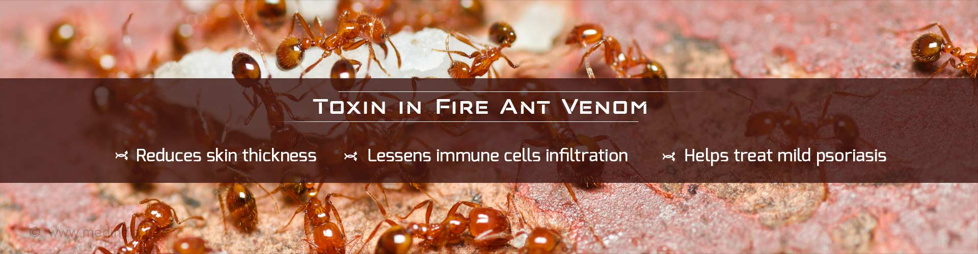 Toxin in fire ant venom - Reduces skin thickness - Lessens immune cells infiltration - Helps treat mild psoriasis