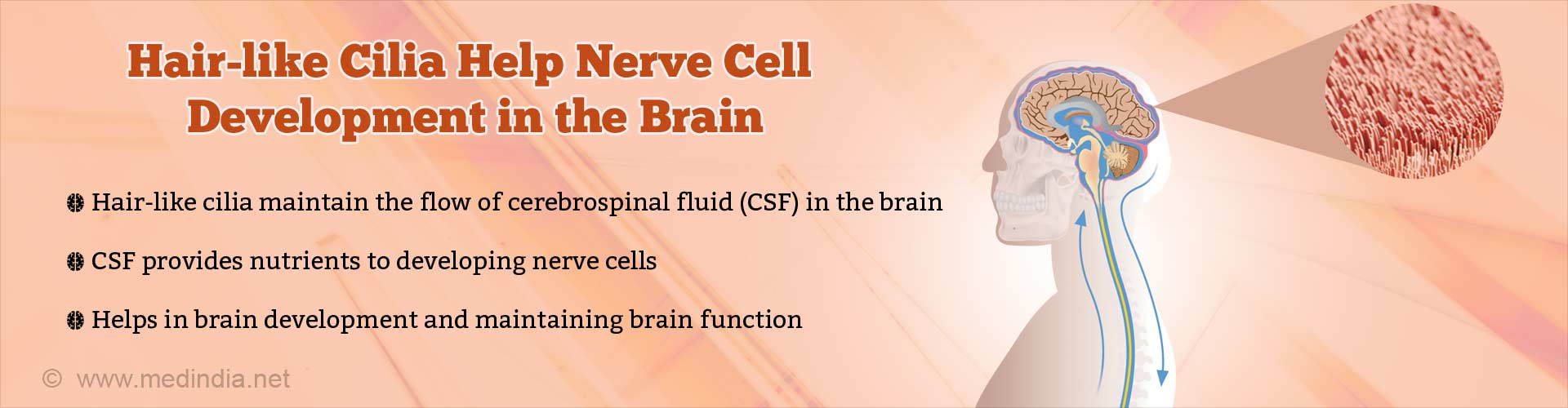 Hair-like cilia help nerve cell development in the brain. Hair-like cilia maintain the flow of cerebrospinal fluid (CSF) in the brain. CSF provides nutrients to developing nerve cells. Helps in brain development and maintaining brain function.