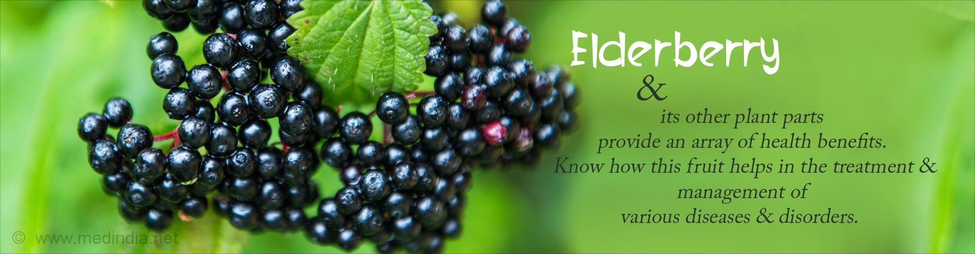 Elderberry and its other plant parts provide an array of health benefits. Know how this fruit helps in the treatment and management of various diseases and disorders
