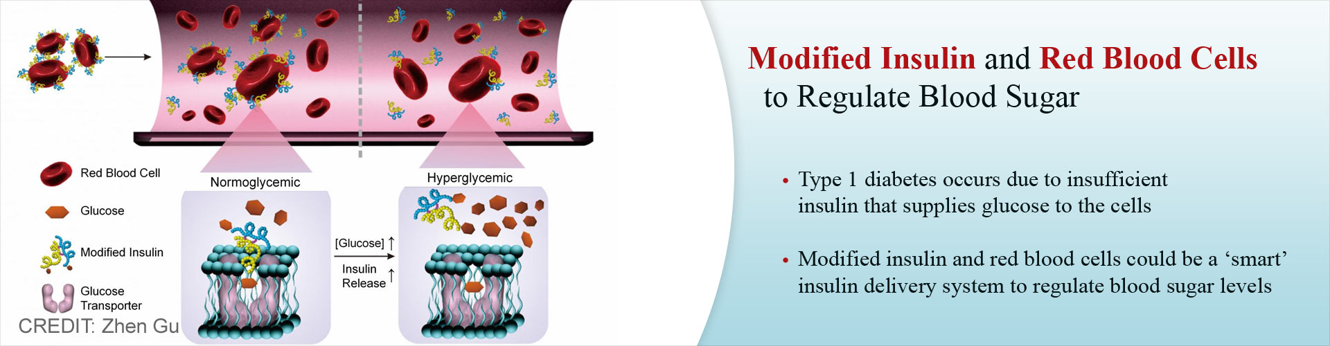 Modified Insulin and Red Blood Cells Could Regulate Blood Sugar Levels