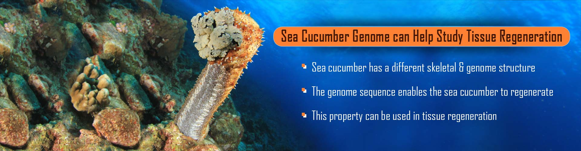 Sea Cucumber Genome Can Help In the Study of Tissue Regeneration