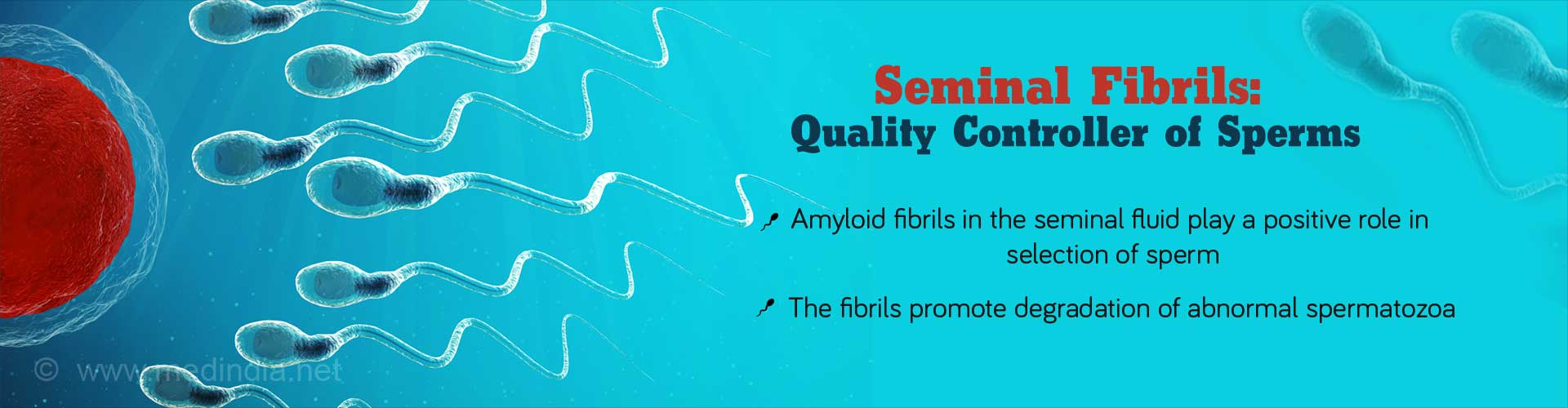 Seminal Fibrils: Quality Controller of Sperms - amyloid fibrils in the seminal fluid play a positive role in selection od sperm - The fibrils promote degradation of abnormal spermatozoa