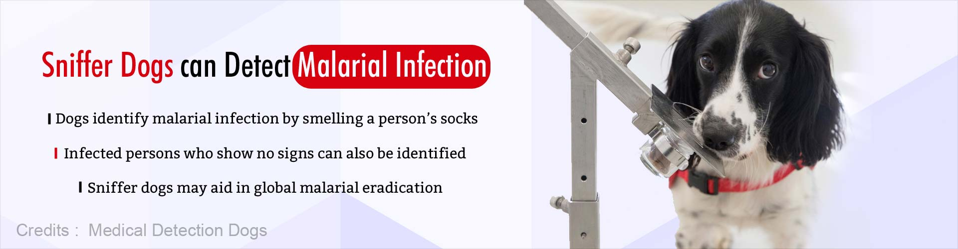 Sniffer dogs can detect malarial infection. Dogs identify malarial infection by smelling a person''s socks. Infected persons who show no signs can also be identified. Sniffer dogs may aid in global malarial eradication.