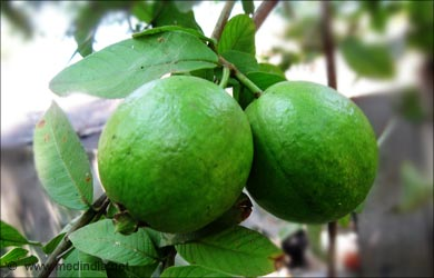 Home Remedies for Pyorrhea: Guava