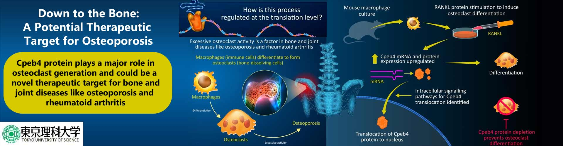Down to the Bone: New Protein Helps in Osteoclast Formation