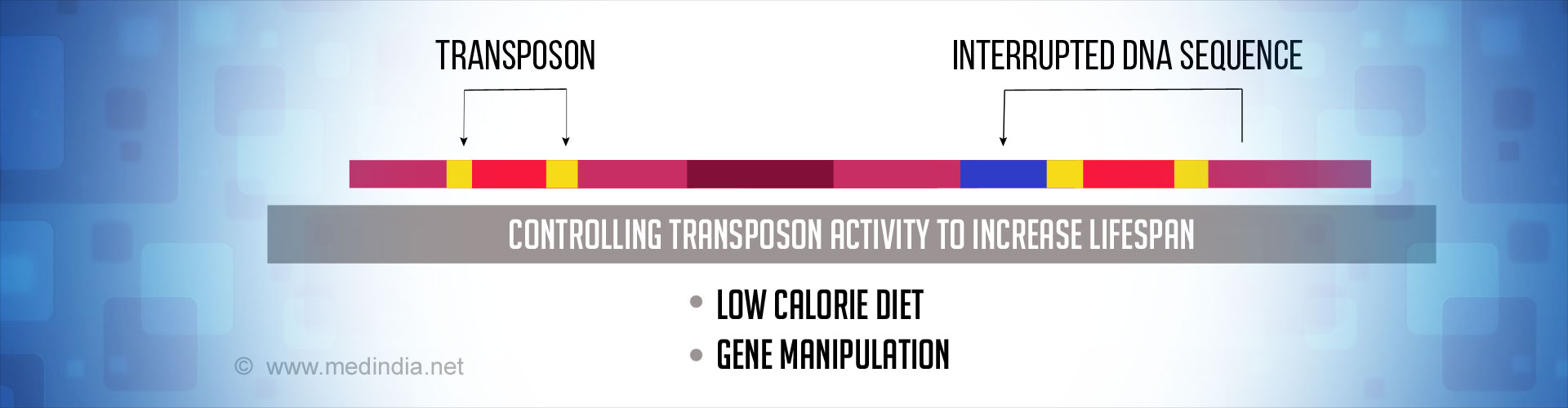 Watch What You Eat - Calorie Control Could Increase Lifespan by Restricting Rogue Transposons
