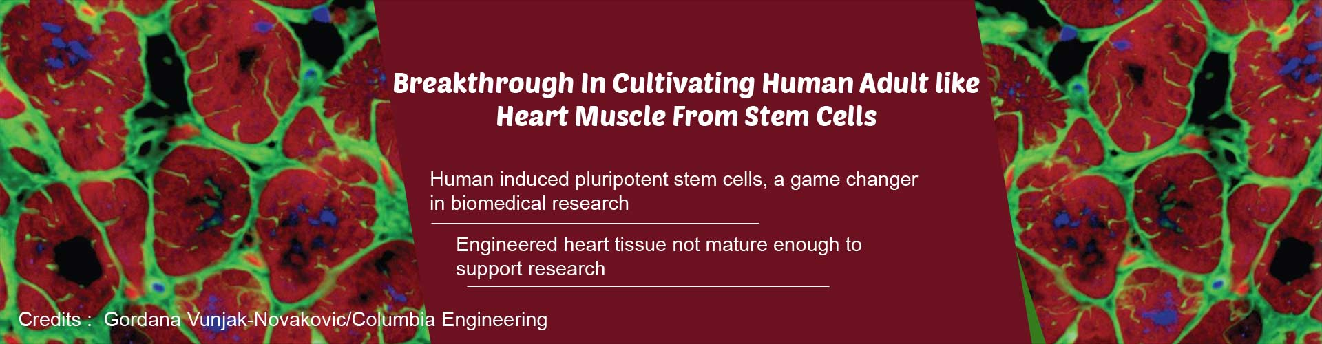 Stem Cells Used to Engineer Heart Muscle Similar That of an Adult