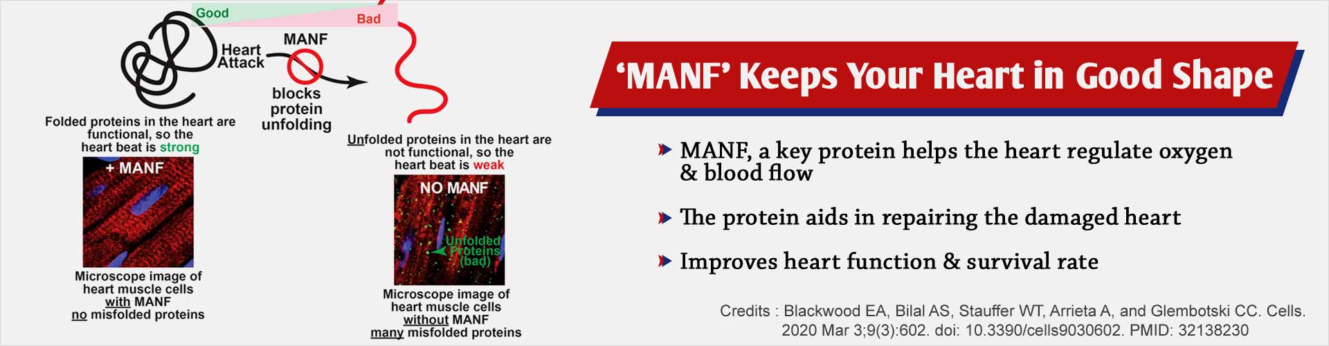 Key Protein Discovered Helps Repair Damaged Heart