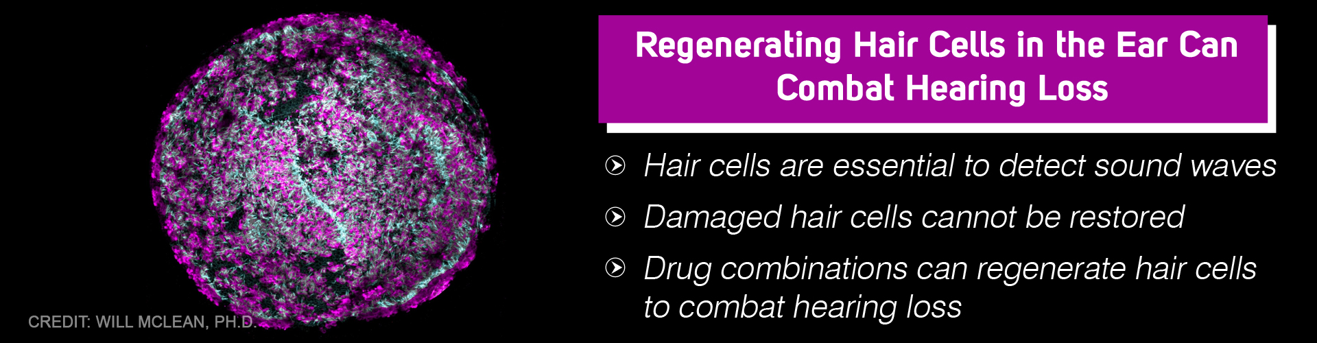 Drug Combination That Regenerate Hair Cells Can Combat Hearing Loss