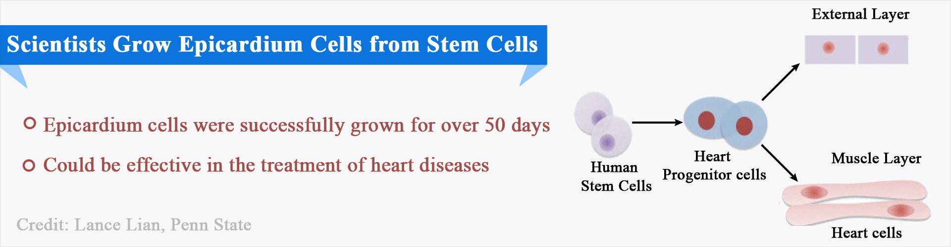 Epicardium Cells Grown From Stem Cells