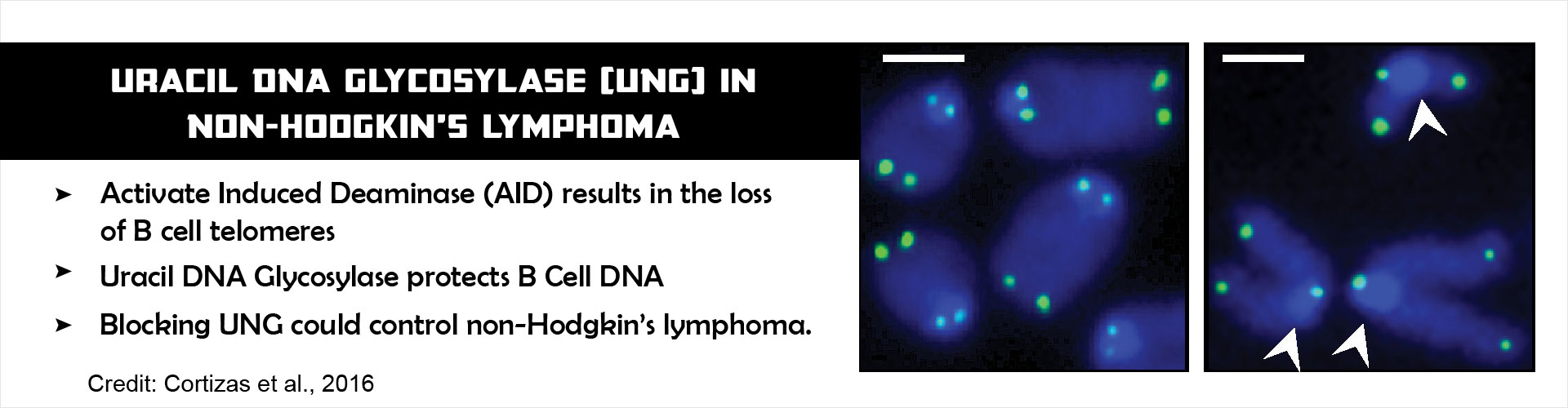 Non-Hodgkin's Lymphoma Aided by Uracil DNA Glycosylase (UNG)
