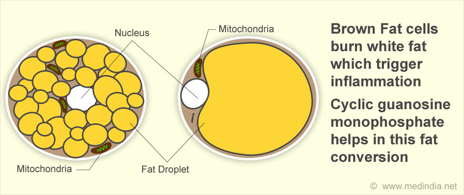 Fat cell diagram diy enthusiasts wiring diagrams inflammation halts brown fat cells to burn fat rh medindia net fat cell diagram bbc bitesize fat cell diagram labeled ccuart Choice Image