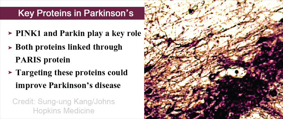 Key Proteins Associated With Parkinson's Disease Symptoms Identified