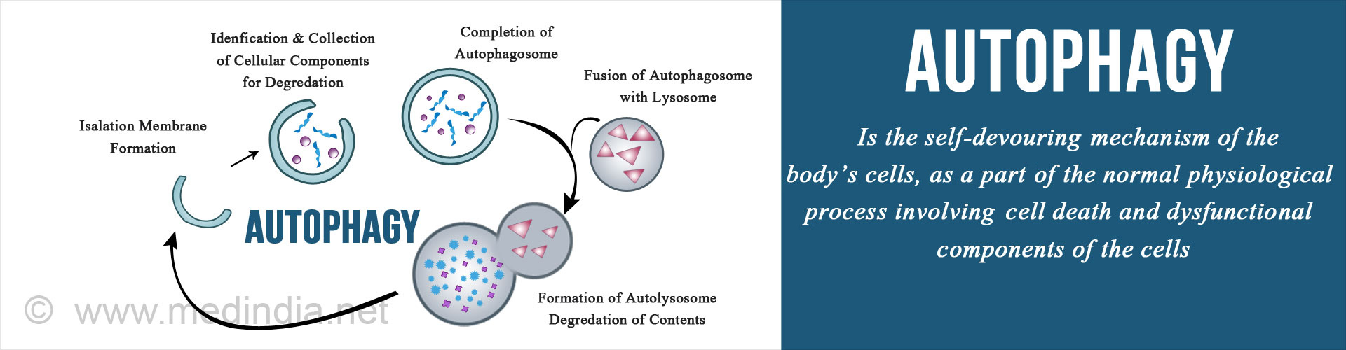 Autophagy: Self-Repair Mechanism at Cellular Level