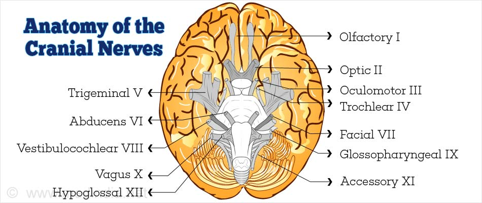 Anatomy of the Cranial Nerves