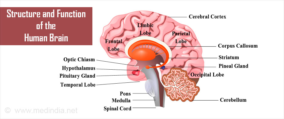 Structure and Function of the Human Brain