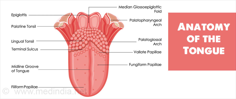 The Nerve Supply Of The Tongue Consists Of The Lingual Nerve Chorda