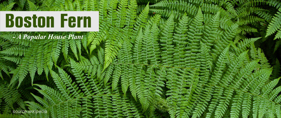 Boston Fern - Natural Air Purifying Plant
