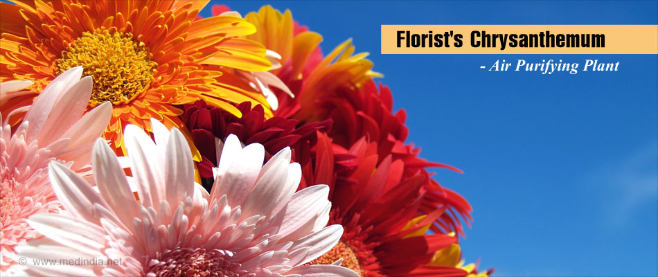 Florist's Chrysanthemum - Air Purifying Plant