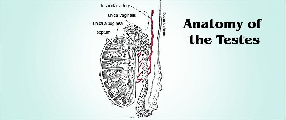 Testicular Biopsy Types Procedure Precautions Risks Results