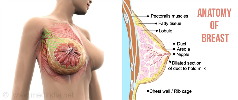 Overview Of The Breast