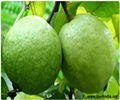 The Fruit in News � Guava