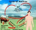 Anthrax - What is Bacillus Anthracis?