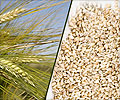 Barley and its Benefits