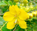 Health Benefits of Avaram Senna Flower