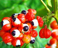 Top 5 Health Benefits of Guarana
