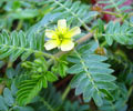 Health Benefits of Tribulus Terrestris