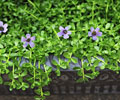 Top 10 Health Benefits of Water Hyssop (Bacopa Monnieri)