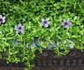 Top 10 Health Benefits of Water Hyssop (Bacopa Monnieri)
