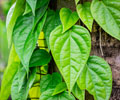 Top 10 Medicinal Benefits of Betel Leaves
