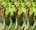 Snake Gourd Glory