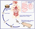 Tapeworm Infections - Dog tapeworm