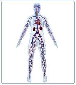 know Your Body - Circulatory System