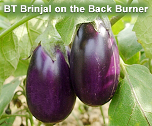 BT Brinjal on the Back Burner