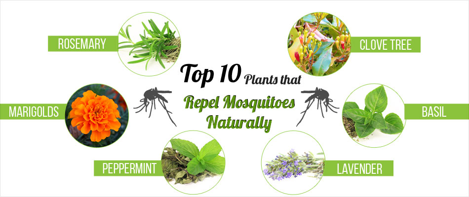 Top 10 Plants That Repel Mosquitoes Naturally