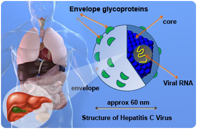 C Hepatitis Vaccine