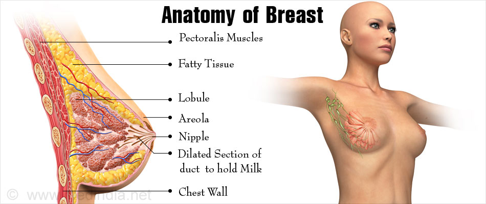 Breast Structure | Breast Anatomy