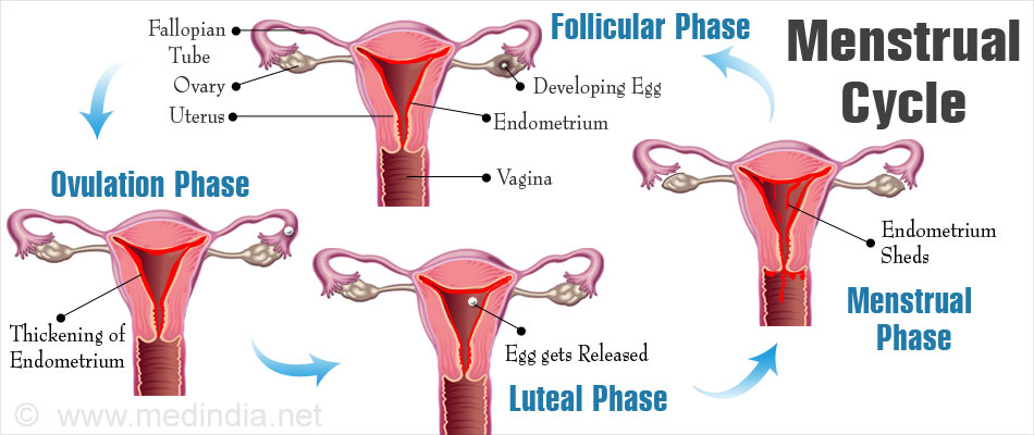 Menstrual Cycle - Phases, Mechanism, Causes, Prevention and Myths