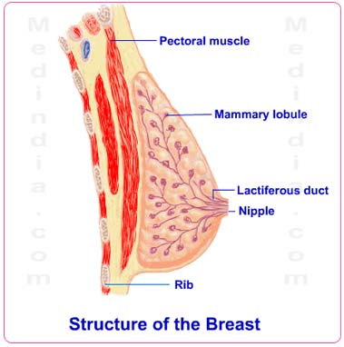 Breast Anatomy Pictures